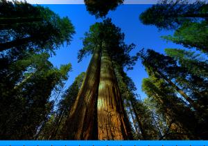 bomen - Sequoia